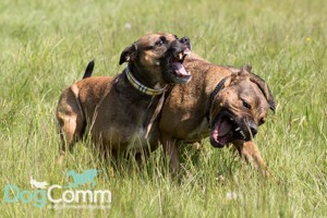 Why we won't use aversives to treat your dog's aggressive behaviours
