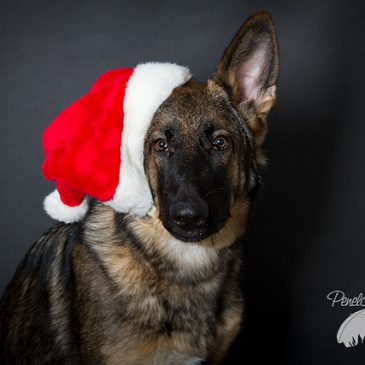 Dog Comm Guide to a Calm Christmas with your dog